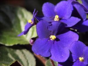 Violetas africanas sobre hoja