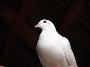 Blanca paloma