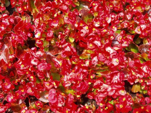 Rojo en flor