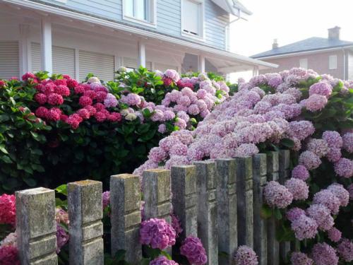 Exuberantes hortensias