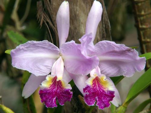 Orquídeas Siamesas
