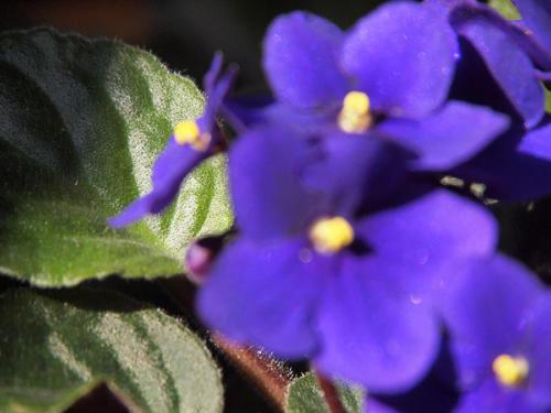 Hoja bajo violeta