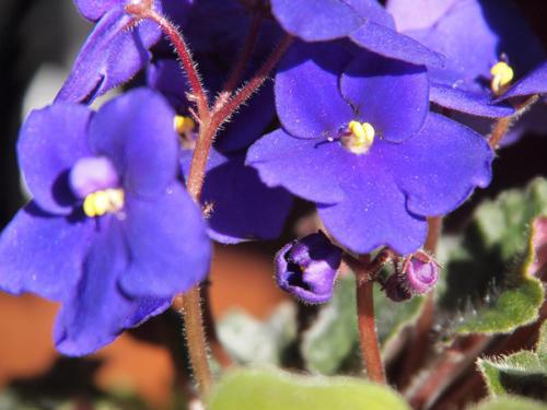 Violetas bajo violeta