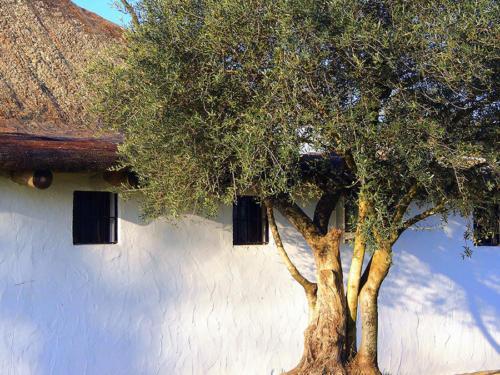 Olivo doméstico