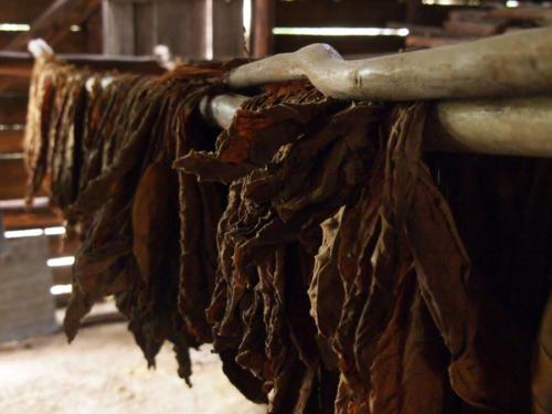 Tabaco en secadero